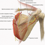 Nerves to scapula