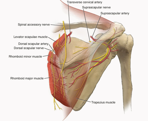 Understanding anatomy of nerve is crucial for diagnosis dorsal scapular nerve entrapment