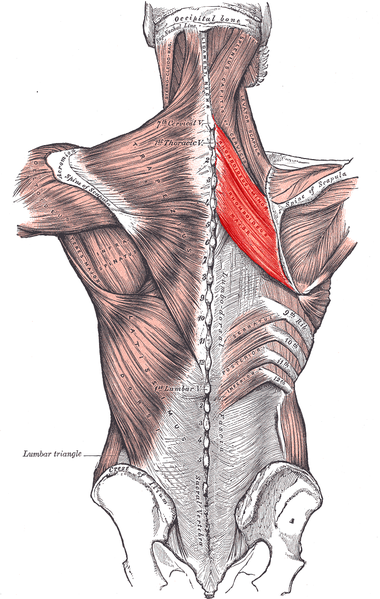 rhomboids muscles origin and insertion