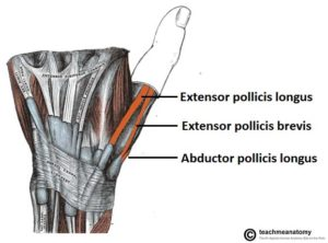 Tendons of anatomical snuffbox