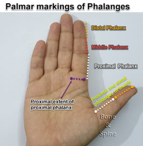 phalnx marking on fingers and hands palmar side