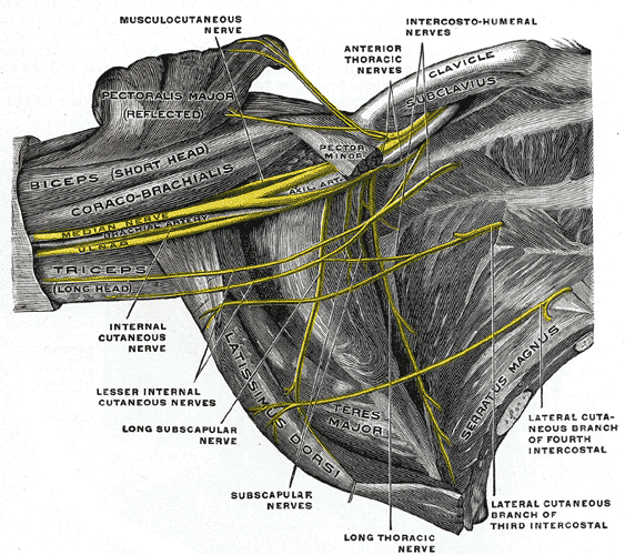 ulnar nerve and other nerves in arm