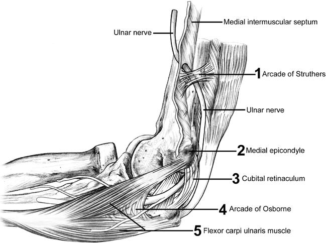 Ulnar Nerve Course at elbow