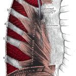 Thoracic muscles cause Pulled muscle in chest