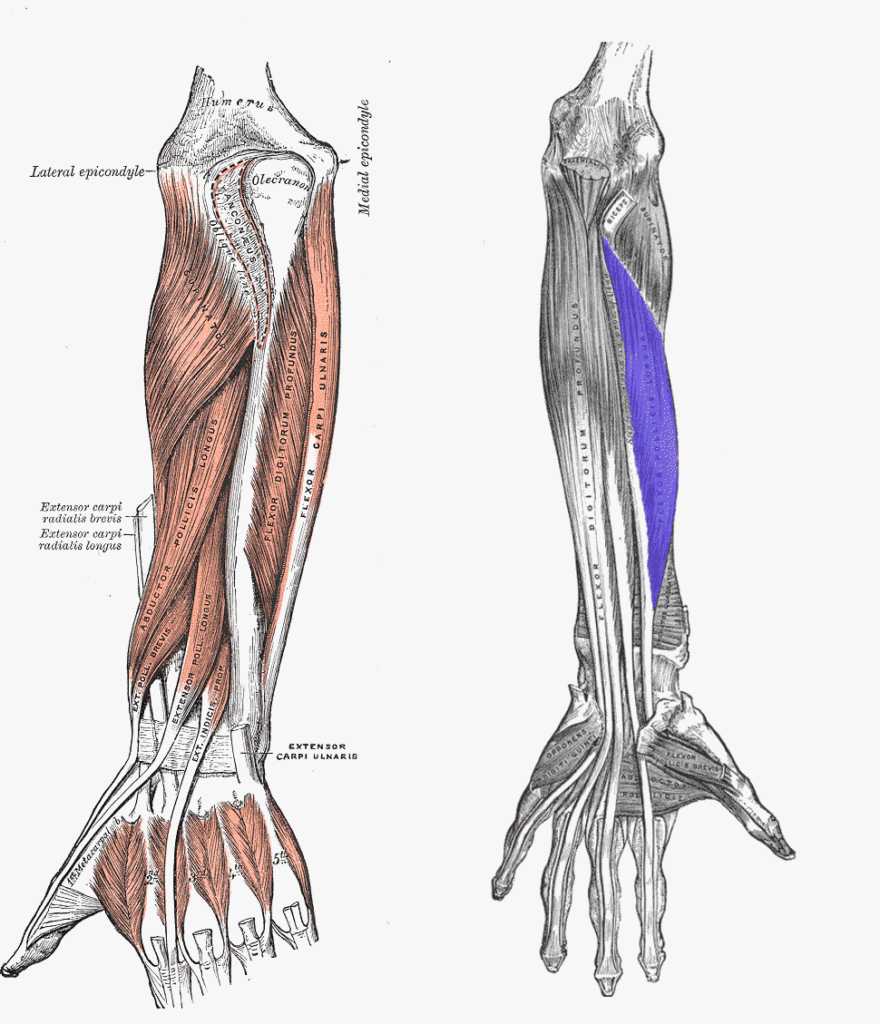 Muscles of thumb act as deforming forces to base of thumb fractures