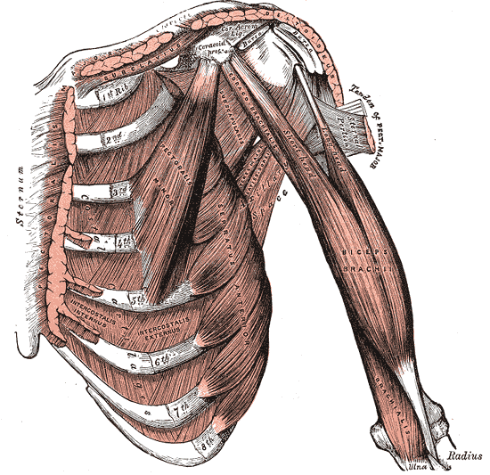 Deep Muscles of Pectoral Region