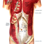 Muscles of pectoral region