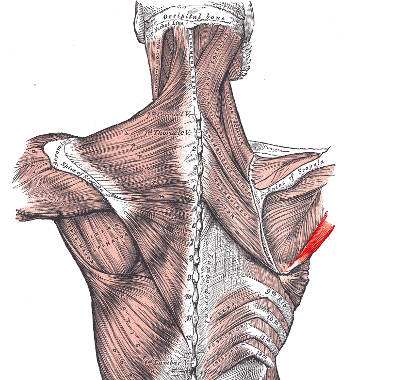 teres major is one of intrinsic muscles of shoulder