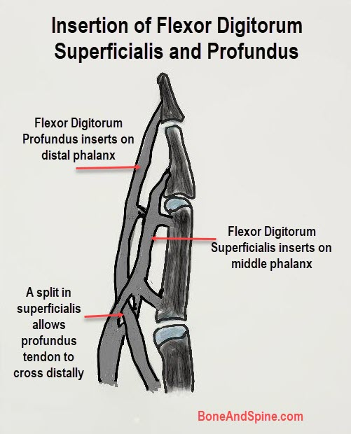 insertion of flexor digitorum superficialis