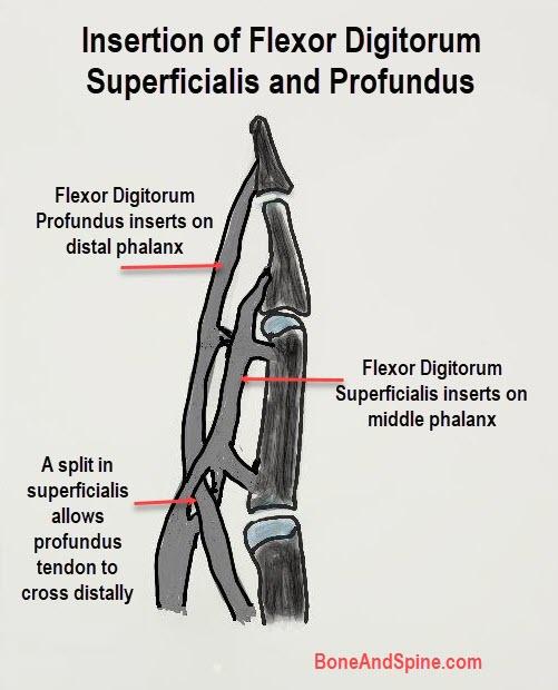 insertion of flexor digitorum superficialis