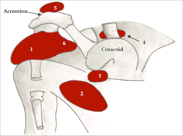 bursae arund shoulder